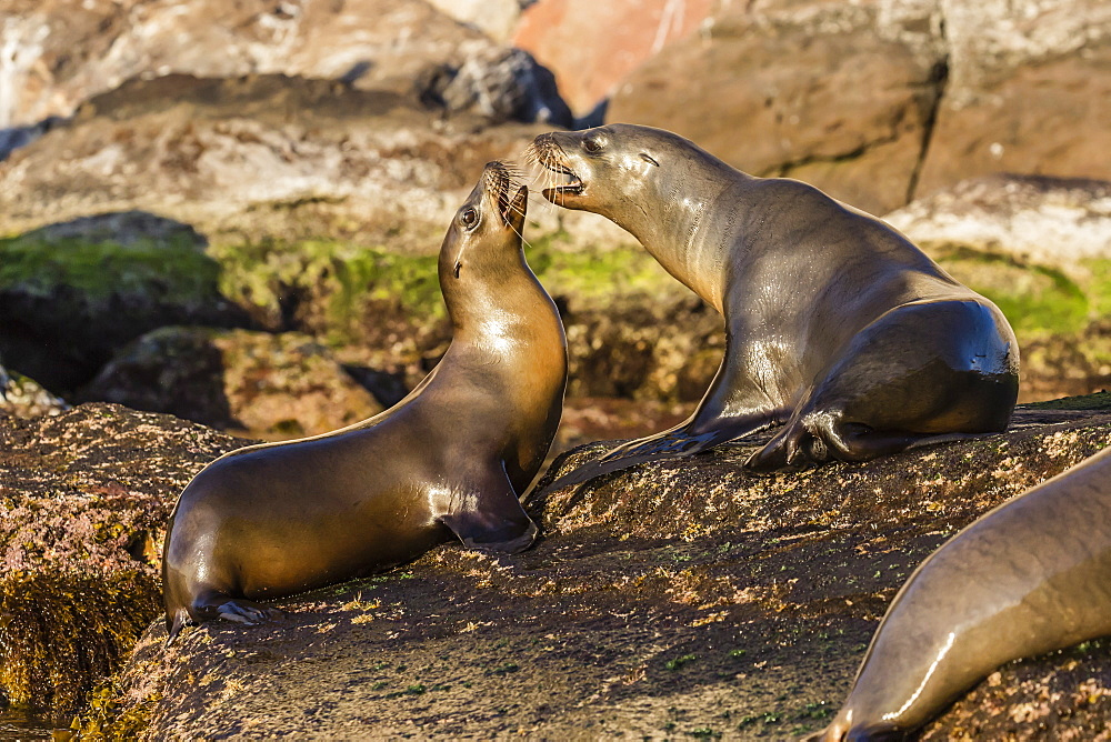 Young California sea lions, Zalophus californianus, mock fighting, Isla San Pedro Martir, Baja California, Mexico. - 1112-3714