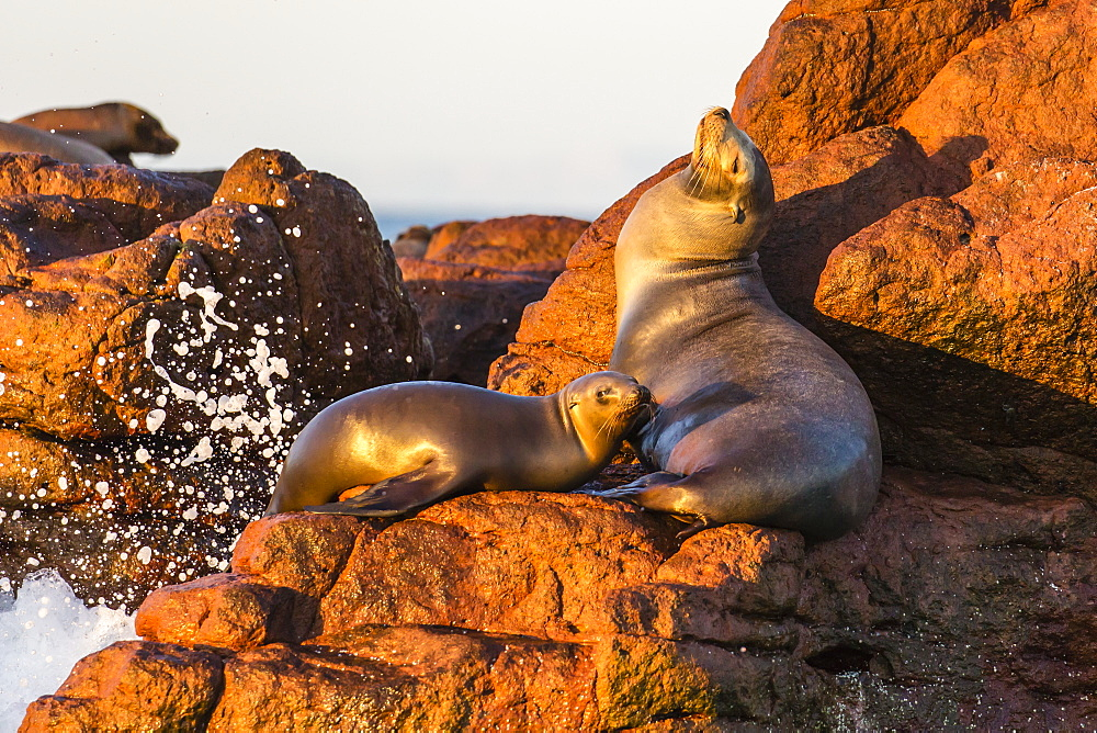Mother and pup California sea lion (Zalophus californianus), Los Islotes, Baja California Sur, Mexico, North America