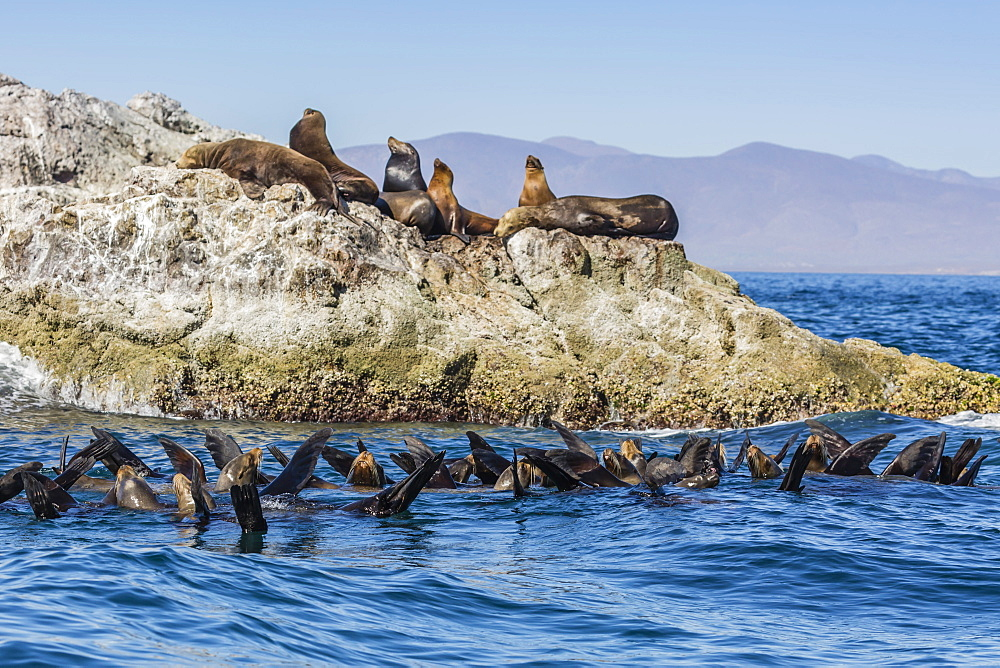 California sea lions, Zalophus californianus, thermoregulating, Isla San Marcos, Baja California Sur, Mexico. - 1112-3717