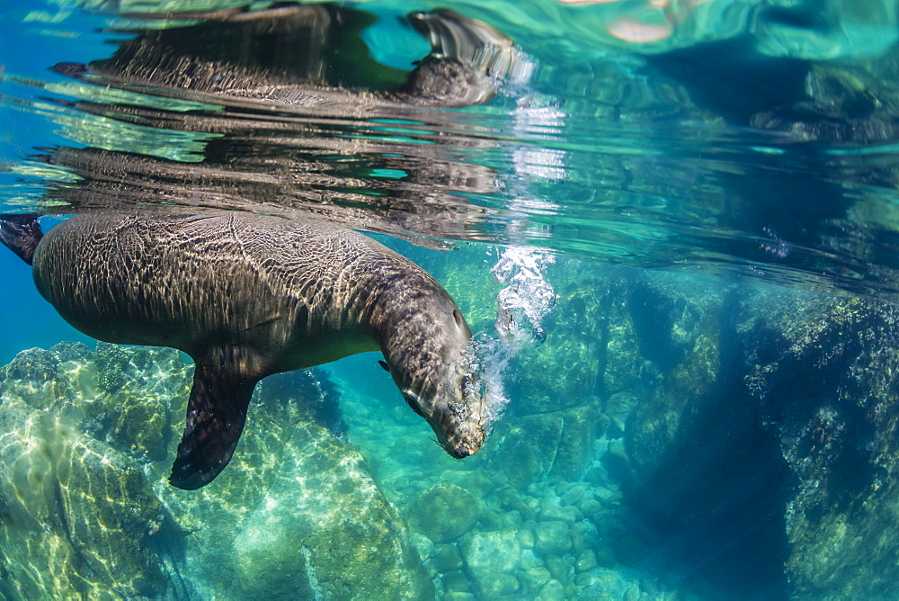 California sea lion (Zalophus californianus) underwater at Los Islotes, Baja California Sur, Mexico, North America