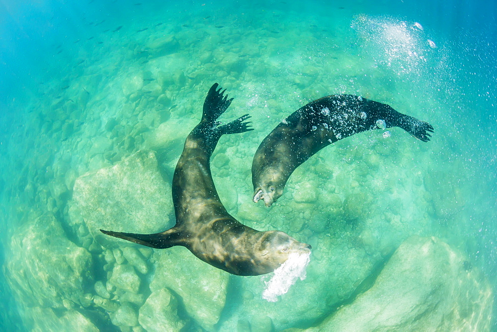 California sea lion bulls (Zalophus californianus) underwater, Los Islotes, Baja California Sur, Mexico, North America