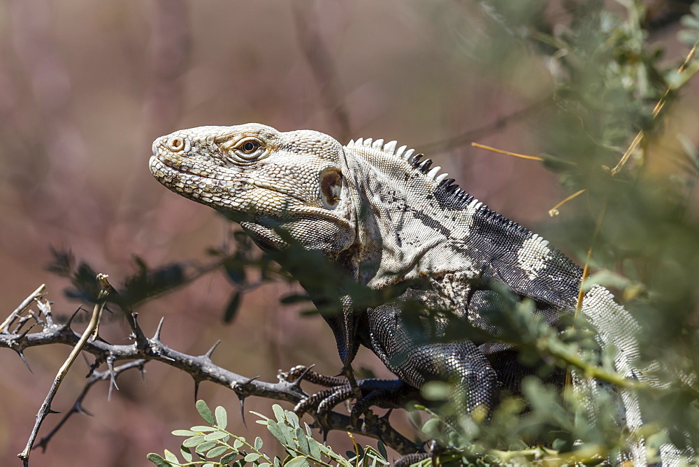 Adult San Esteban spiny-tailed iguana, Ctenosaura conspicuosa, in shrub, Baja California, Mexico. - 1112-3724