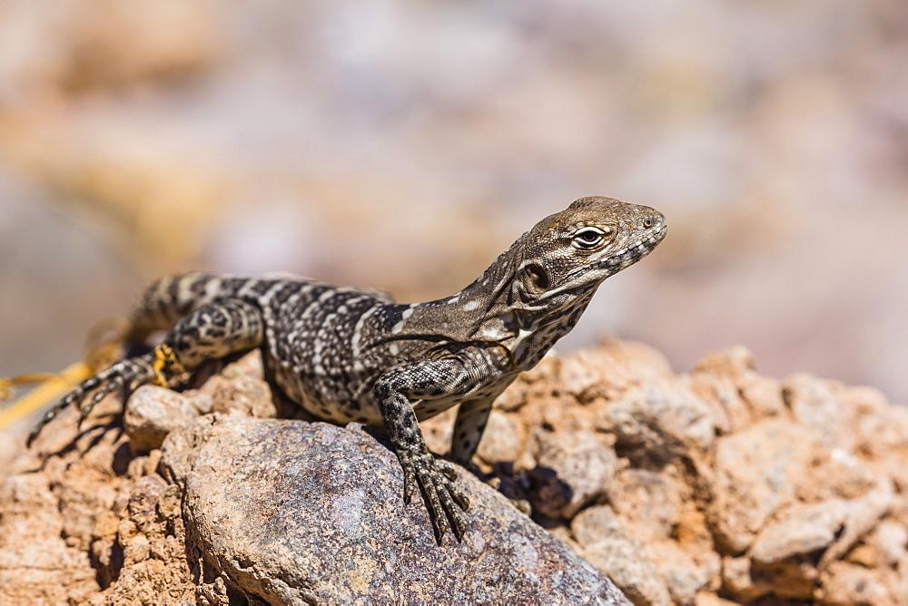Juvenile San Esteban spiny-tailed iguana (Ctenosaura conspicuosa), Isla San Esteban, Baja California, Mexico, North America - 1112-3725