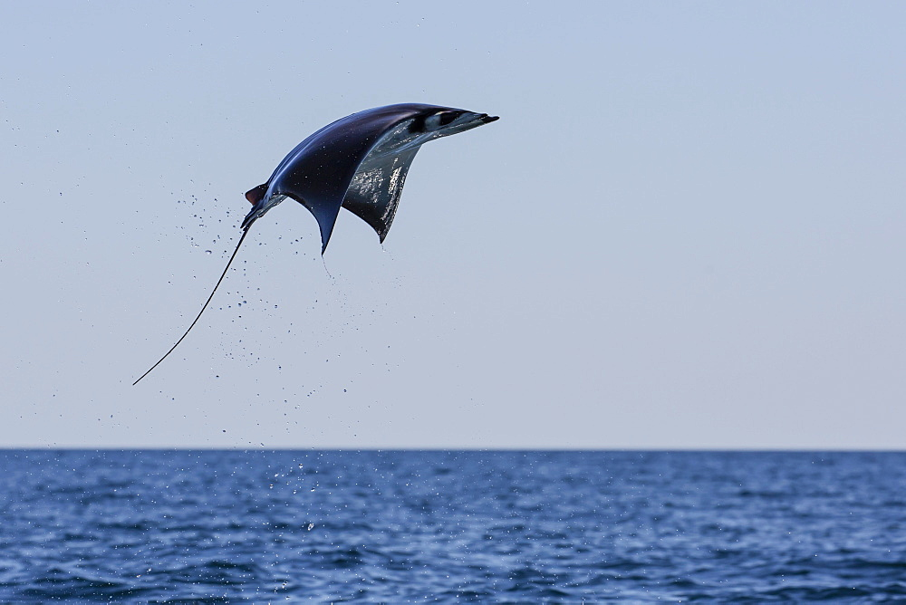 Adult Munk's pygmy devil ray (Mobula munkiana), leaping near Isla Danzante, Baja California Sur, Mexico, North America