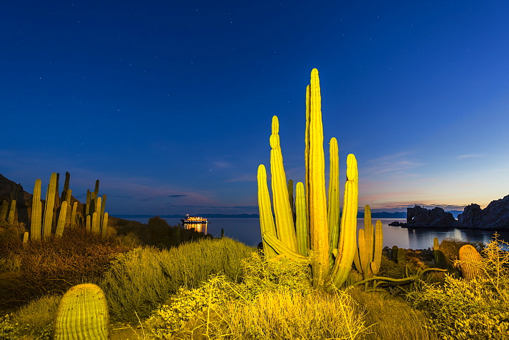 Mexican giant cardon, Pachycereus pringlei, at night, Isla Santa Catalina, Baja California Sur, Mexico. - 1112-3728