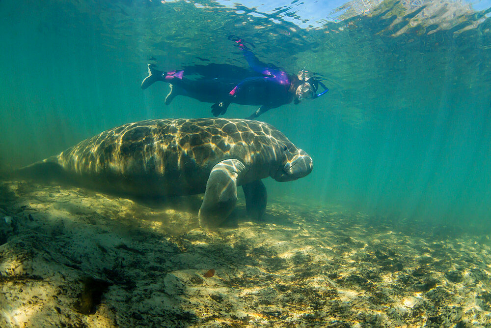 West Indian manatee, Trichechus manatus, underwater with snorkeler, Homosassa Springs, Florida, USA. - 1112-3747
