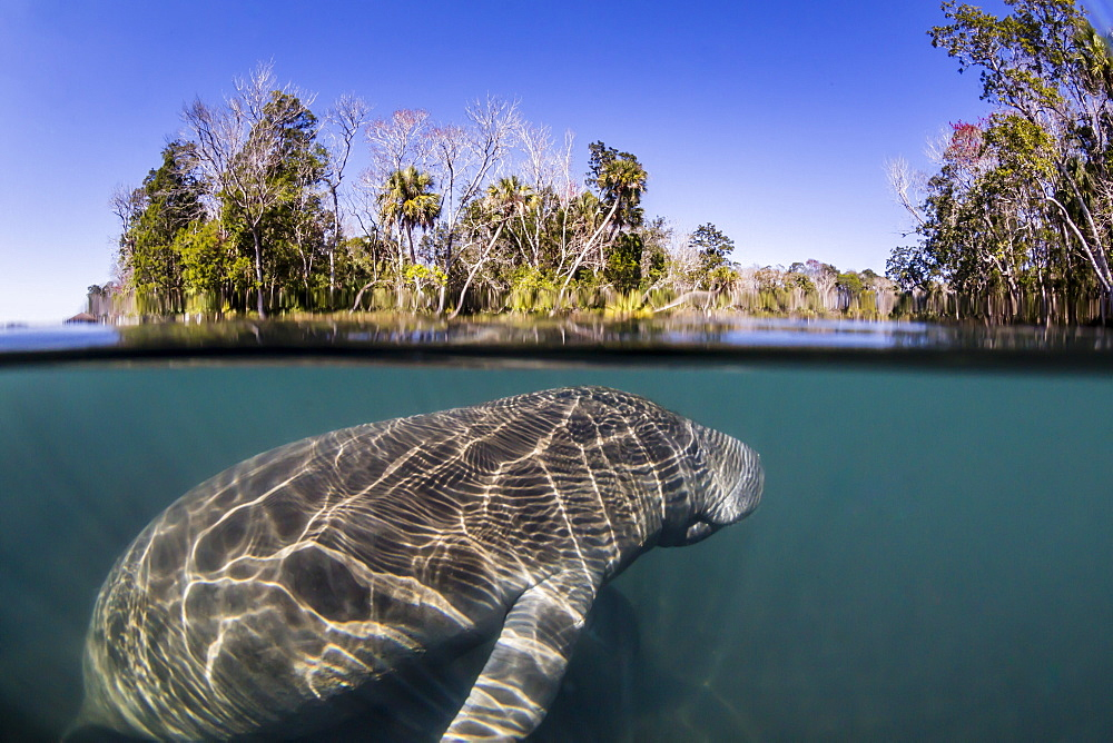 West Indian manatee, Trichechus manatus, half above and half below, Homosassa Springs, Florida, USA. - 1112-3750