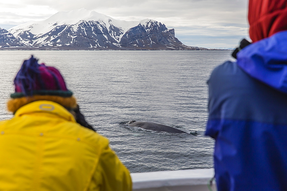 Adult blue whale (Balaenoptera musculus), sub-surface feeding off the western coast of Spitsbergen, Svalbard Archipelago, Arctic, Norway, Europe