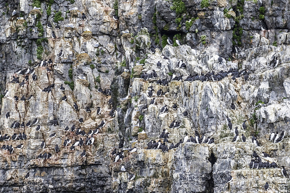 A common guillemot (Uria aalge) breeding colony on the cliffs of Bjornoya, Svalbard Archipelago, Arctic, Norway, Europe