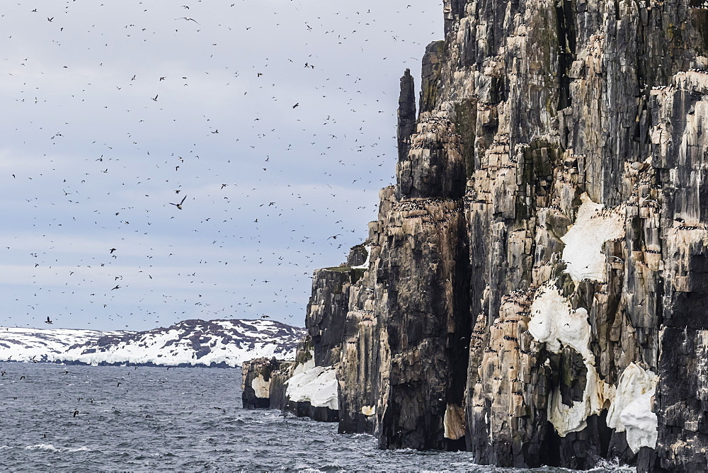 Brunnich's Guillemot (Uria lomvia) nesting cliffs at Cape Fanshawe, Spitsbergen, Svalbard, Arctic, Norway, Europe