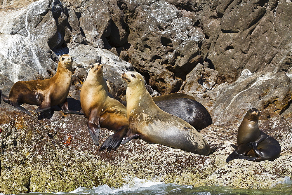 California sea lions (Zalophus californianus), Los Islotes, Baja California Sur, Gulf of California (Sea of Cortez), Mexico, North America