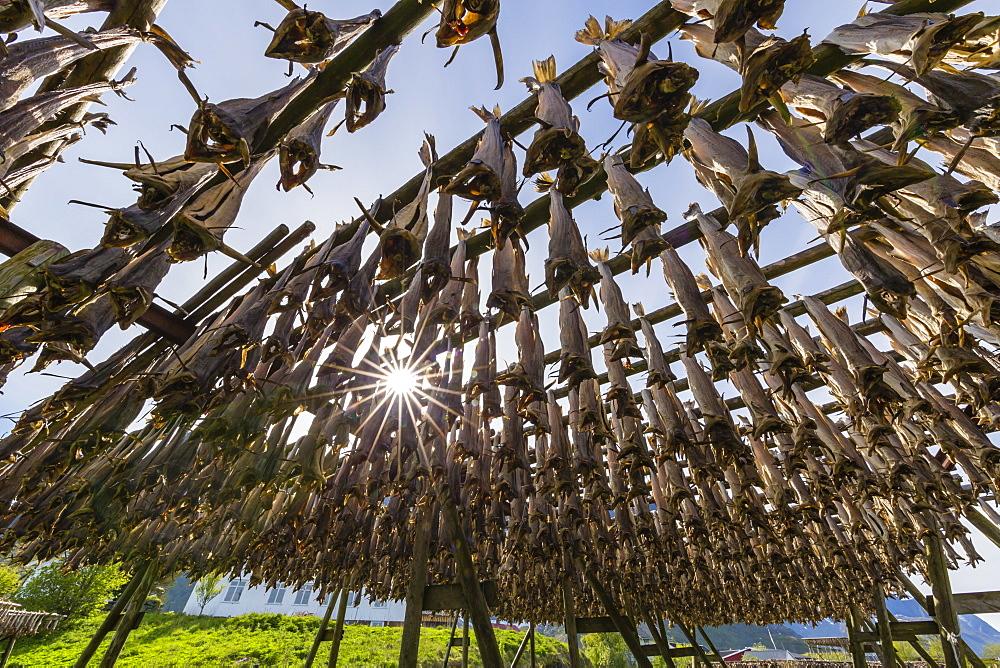 Split cod fish drying in the sun on wooden racks in the town of Reine, Lofoten Islands, Arctic, Norway, Scandinavia, Europe