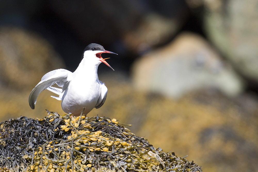 Adult common tern (Sterna hirundo hirundo), Nordfjord, Melfjord, Norway, Scandinavia, Europe