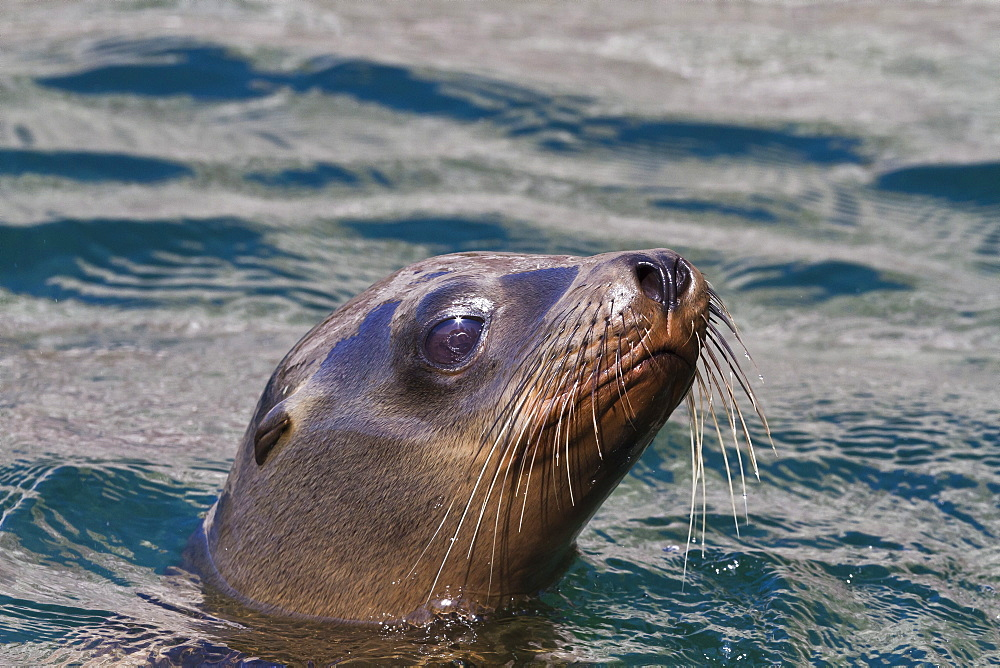 California sea lion (Zalophus californianus), Los Islotes, Baja California Sur, Gulf of California (Sea of Cortez), Mexico, North America