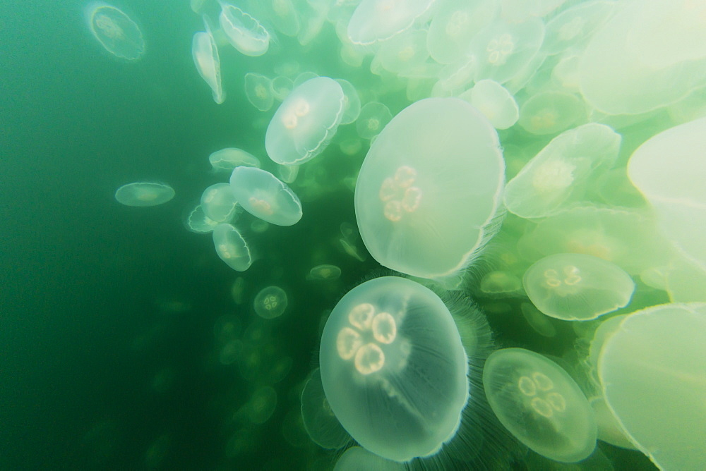 Blooming moon jellyfish, Aurelia aurita, Pond Island in Kelp Bay, Baranof Island, southeast Alaska, USA. - 1112-3802