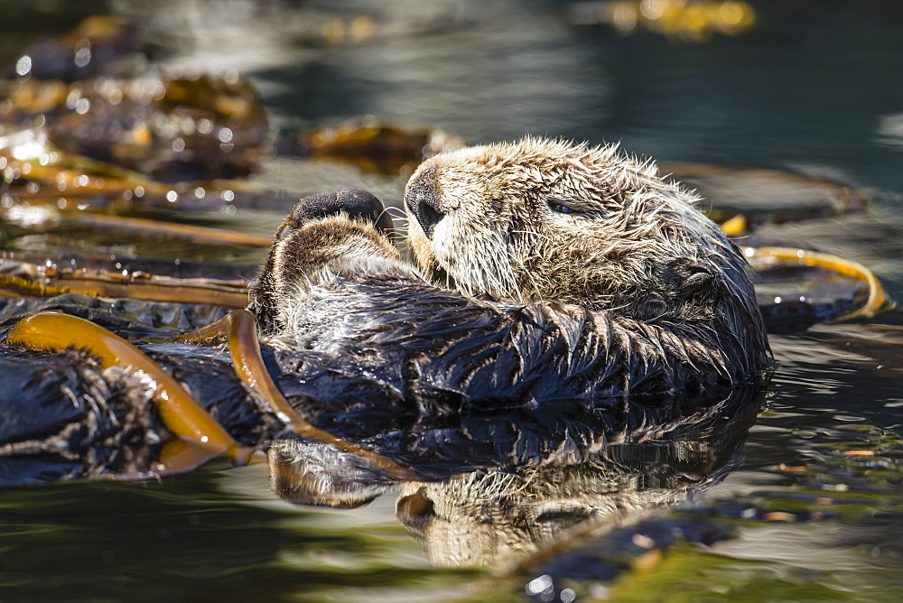 Adult sea otter, Enhydra lutris kenyoni, preening in the Inian Islands, Southeast Alaska, USA. - 1112-3813