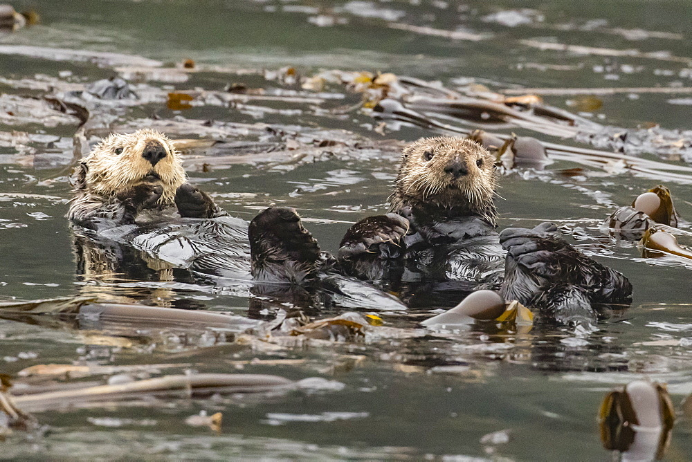 Adult sea otters, Enhydra lutris kenyoni, preening in the Inian Islands, Southeast Alaska, USA. - 1112-3814