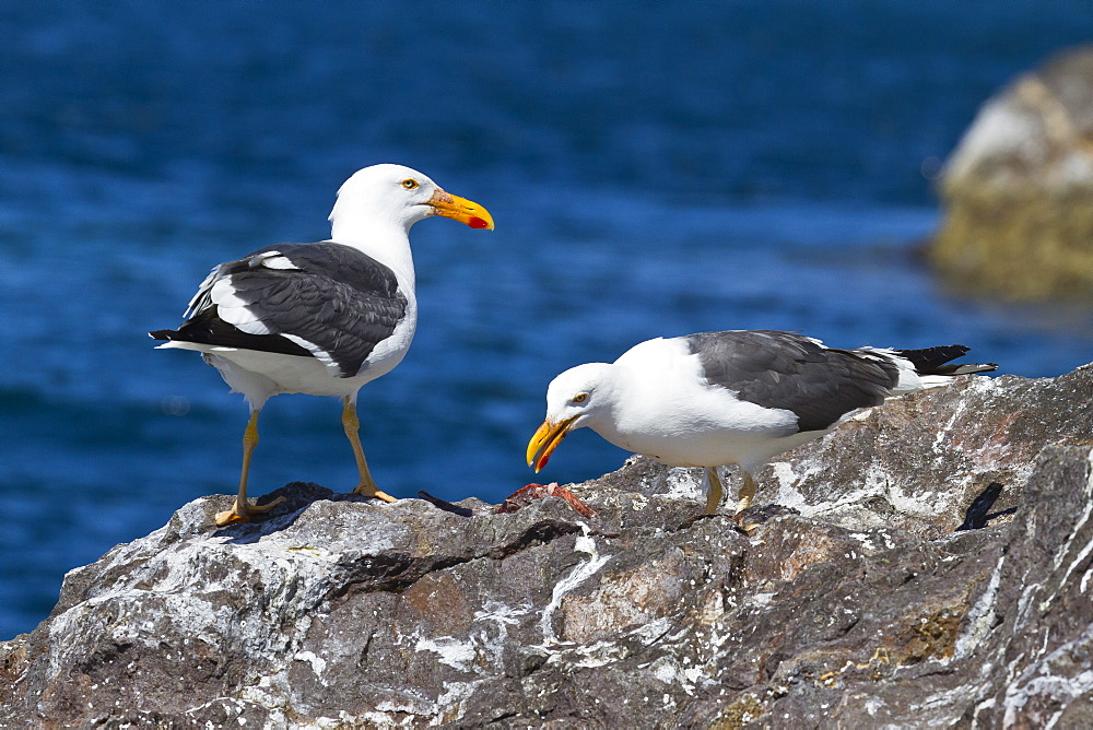 Yellow-footed gulls (Larus livens), Gulf of California (Sea of Cortez), Baja California Sur, Mexico, North America