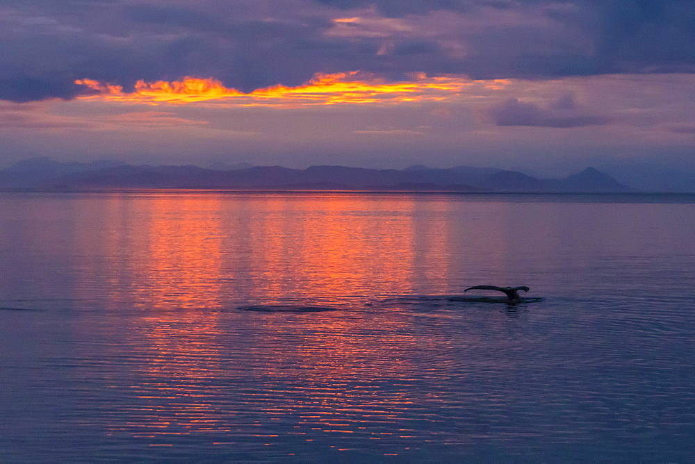 Humpback whale, Megaptera novaeangliae, flukes-up dive at sunset in Frederick Sound, Southeast Alaska, USA. - 1112-3822