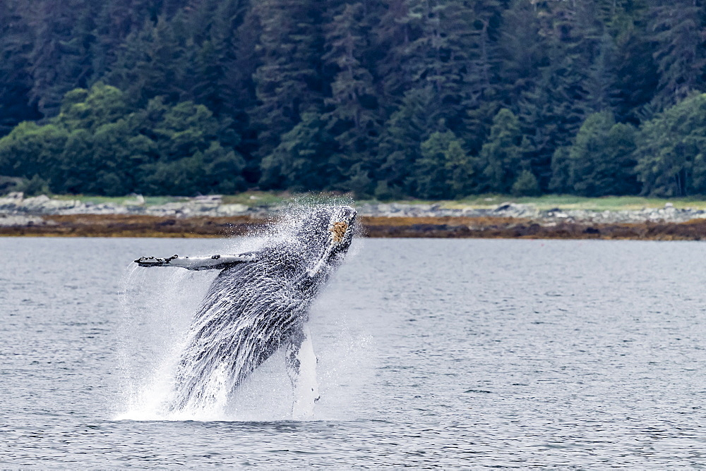 Humpback whale, Megaptera novaeangliae, breaching near the Glass Peninsula, southeast Alaska, USA. - 1112-3828