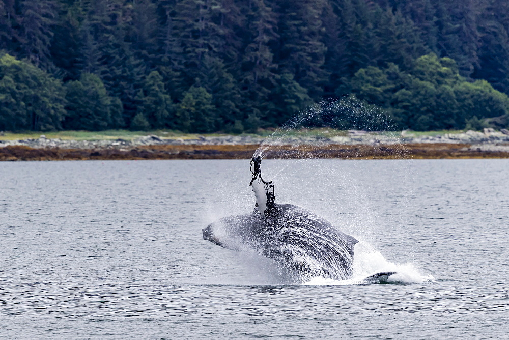 Humpback whale, Megaptera novaeangliae, breaching near the Glass Peninsula, southeast Alaska, USA. - 1112-3829