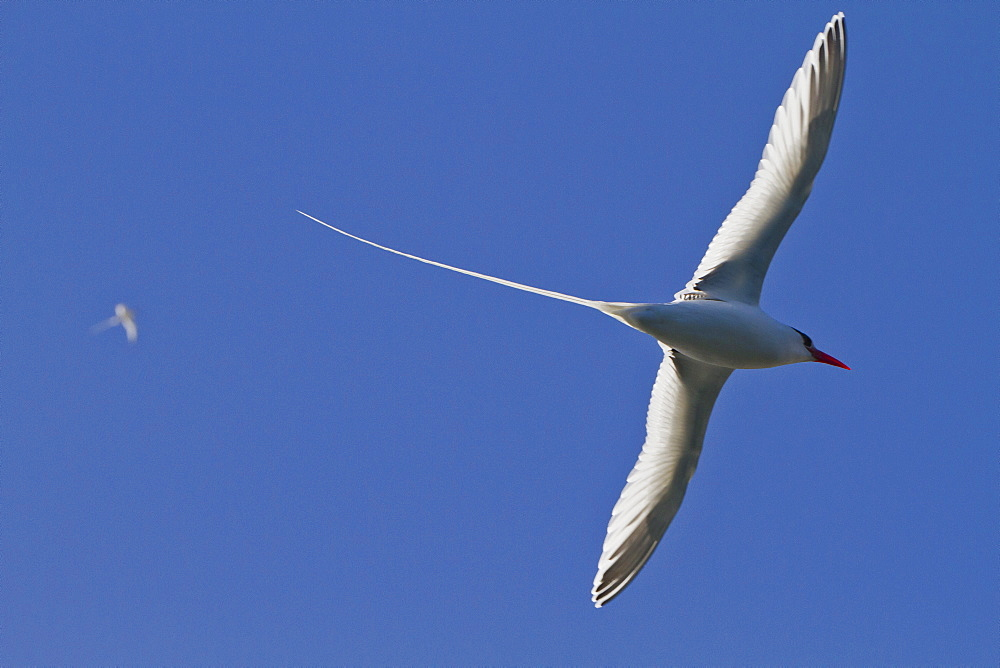 Adult red-billed tropicbird (Phaethon aethereus), Isla San Pedro Martir, Gulf of California (Sea of Cortez), Baja California, Mexico, North America