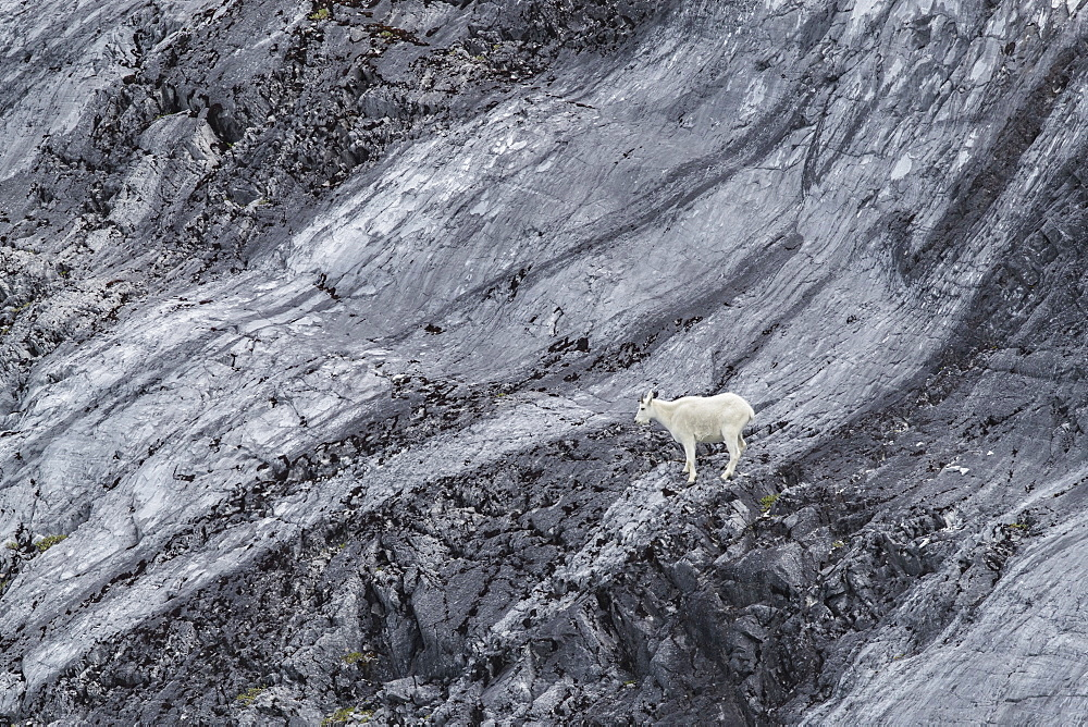 An adult mountain goat, Oreamnos americanus, at Gloomy Knob in Glacier Bay National Park, Southeast Alaska, USA. - 1112-3833
