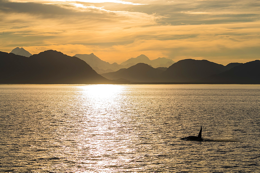 Adult bull killer whale, Orcinus orca, surfacing at sunset near Point Adolphus, Icy Strait, Southeast Alaska, USA. - 1112-3834