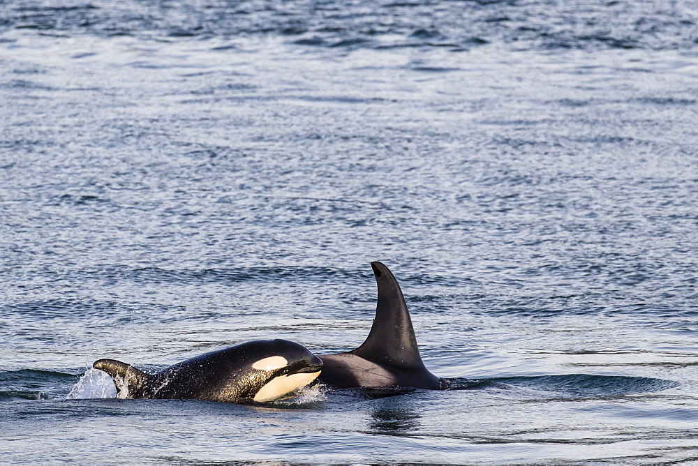 Mother and calf killer whale, Orcinus orca, surfacing near Point Adolphus, Icy Strait, Southeast Alaska, USA.