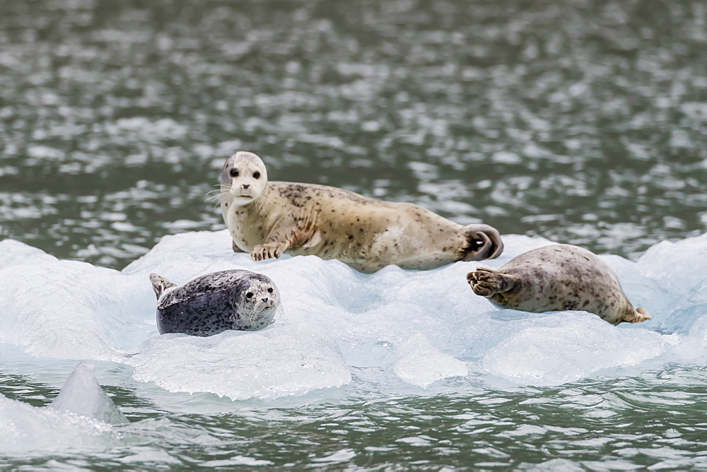 Harbor seals (Phoca vitulina), on ice in front of Dawes Glacier, Endicott Arm, southeast Alaska, United States of America, North America