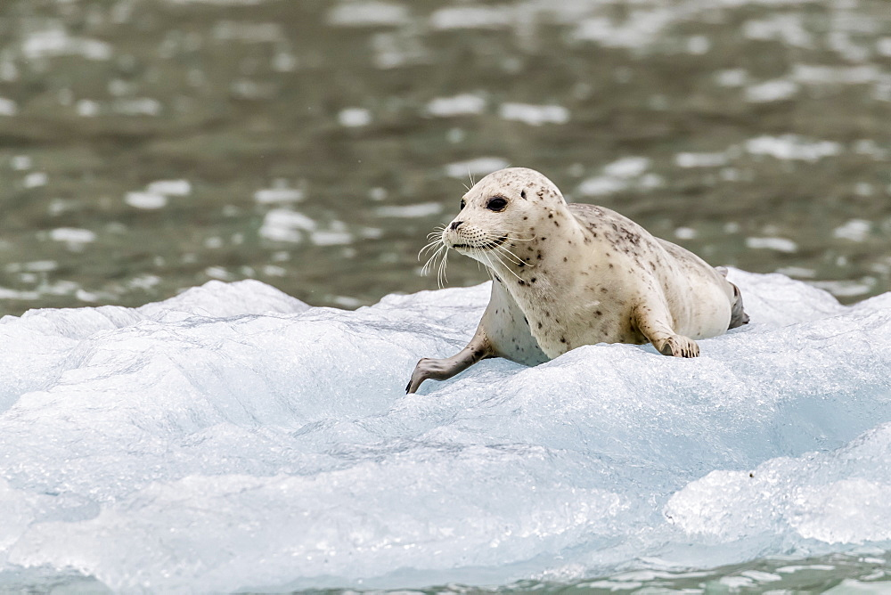 Harbor seal, Phoca vitulina, pup on ice in front of Dawes Glacier, Endicott Arm, southeast Alaska, USA.
