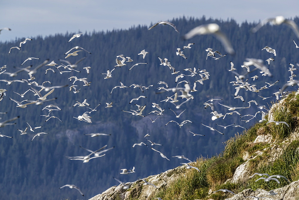 Adult black-legged kittiwakes, Rissa tridactyla, South Marble Islands, Glacier Bay National Park, Alaska, USA. - 1112-3842