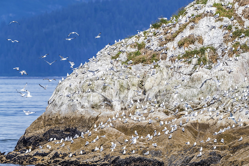 Adult black-legged kittiwakes, Rissa tridactyla, South Marble Islands, Glacier Bay National Park, Alaska, USA. - 1112-3843
