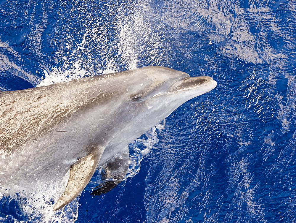 Adult bottlenose dolphin (Tursiops truncatus) leaping in Roroia, Tuamotus, French Polynesia, South Pacific, Pacific
