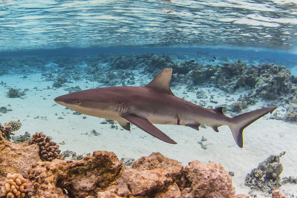 Adult grey reef shark (Carcharhinus amblyrhynchos) in Tumakohua Pass, Fakarava, French Polynesia, South Pacific, Pacific