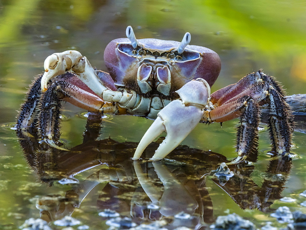 Land crab in brackish pond on Takune Atoll, Tuamotus, French Polynesia.