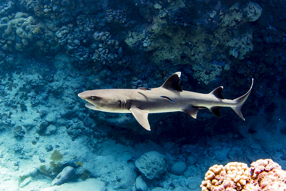 Adult whitetip reef shark (Triaenodon obesus) with cleaner wrasse, Roroia, Tuamotus, French Polynesia, South Pacific, Pacific