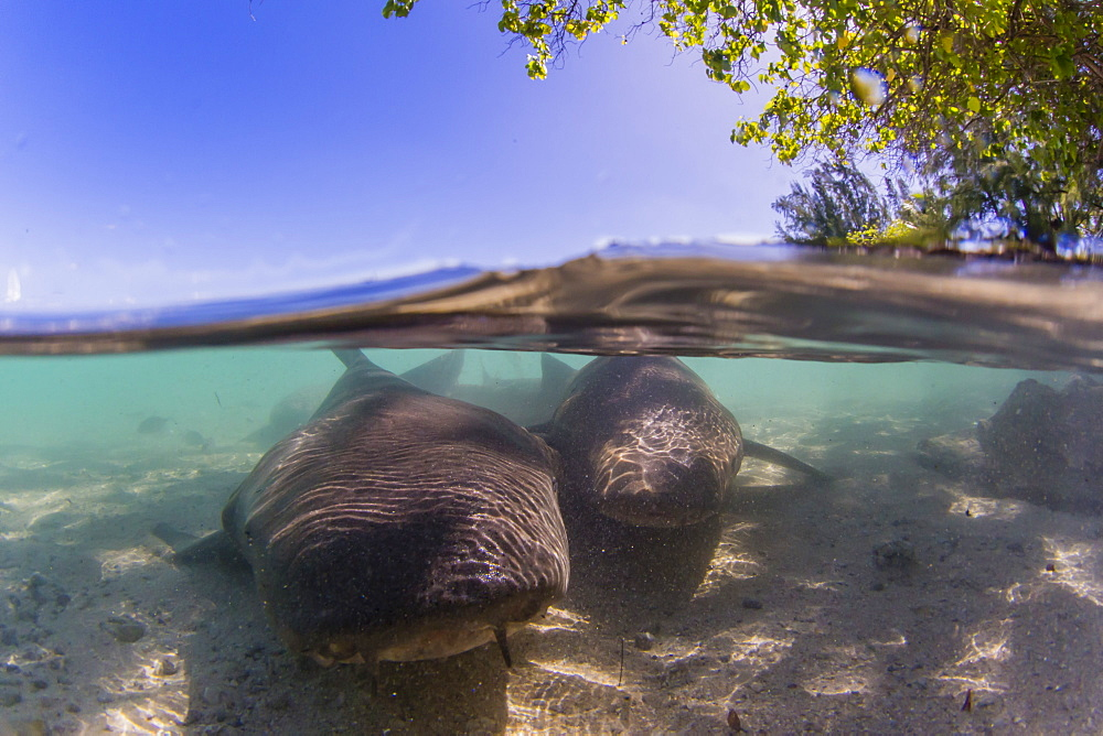 Adult tawny nurse sharks (Nebrius ferrugineus) in the town of Rotoava, Fakarava, French Polynesia, South Pacific, Pacific