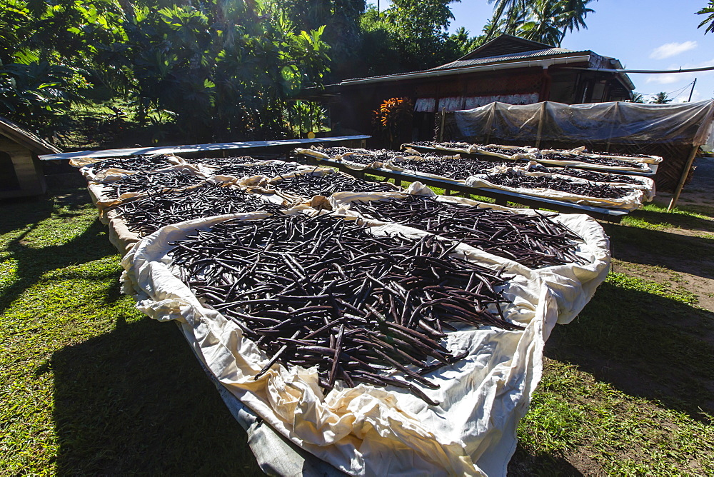 Vanilla beans from the Vallee de la Vanille plantation drying in the sun on Taha'a, Society Islands, French Polynesia, South Pacific, Pacific