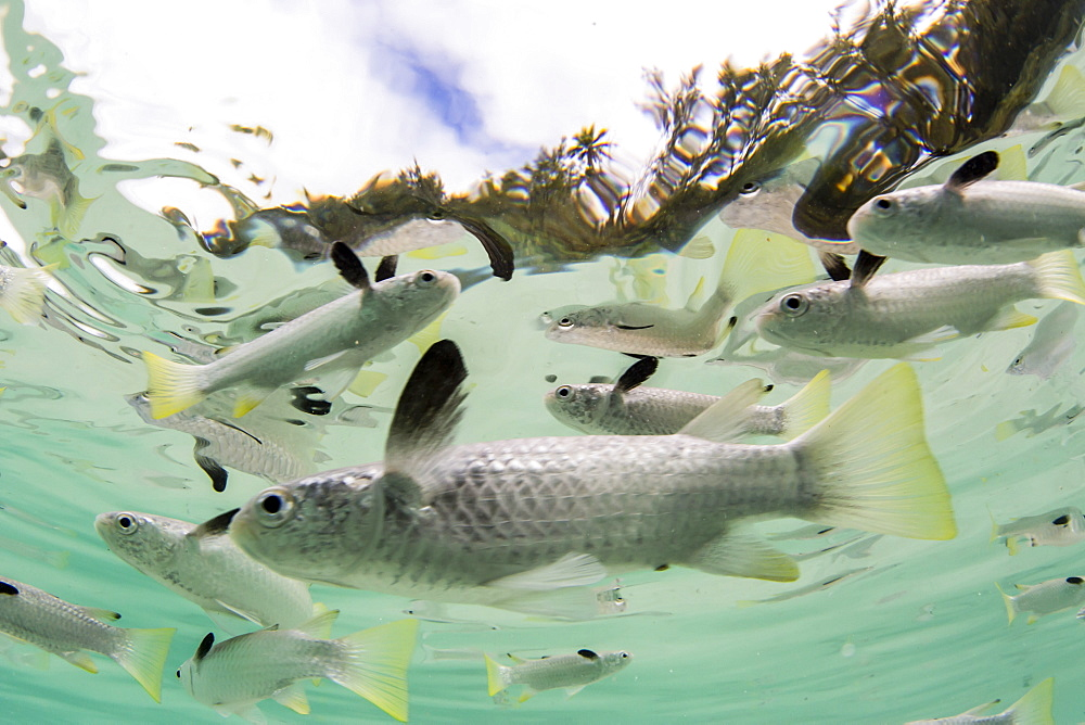 Schooling mullets off a tiny motu in the inner lagoon of Bora Bora, Society Islands, French Polynesia, South Pacific, Pacific