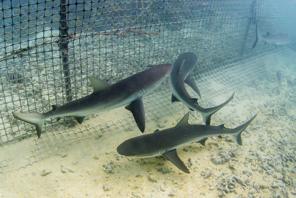 Grey reef sharks (Carcharhinus amblyrhynchos) caught in fish trap, Takume Atoll, Tuamotus, French Polynesia, South Pacific, Pacific