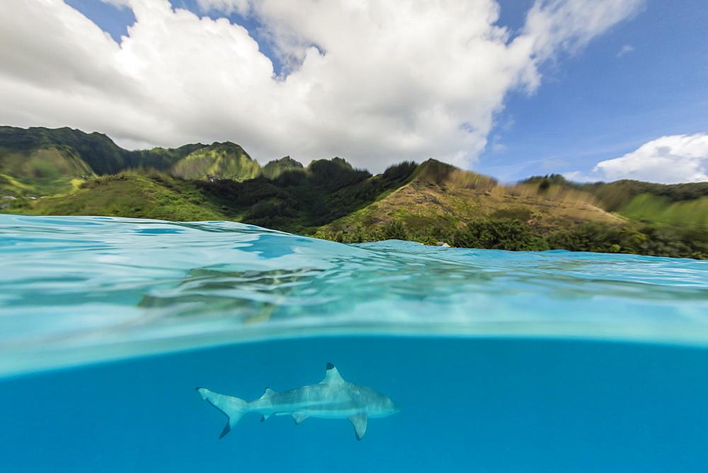 Blacktip reef shark, Carcharhinus melanopterus, cruising the shallow waters of Moorea, French Polynesia. - 1112-3994