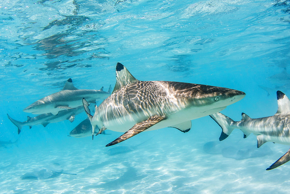 Blacktip reef sharks, Carcharhinus melanopterus, cruising the shallow waters of Moorea, French Polynesia. - 1112-3996