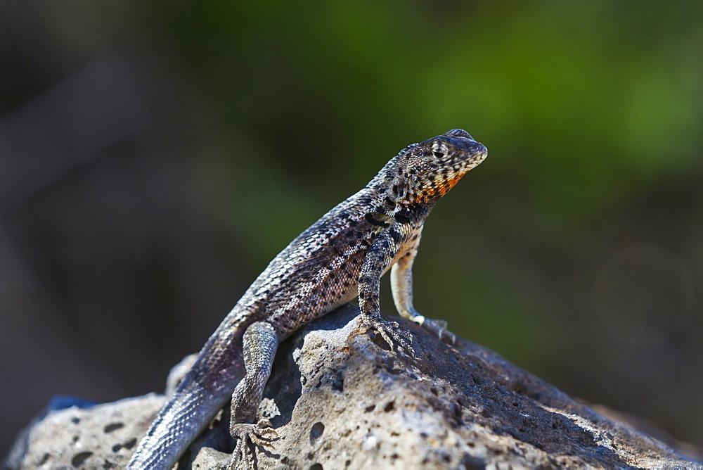 Lava lizard (Microlophus spp), Santa Cruz Island, Galapagos Islands, UNESCO World Heritage Site, Ecuador, South America