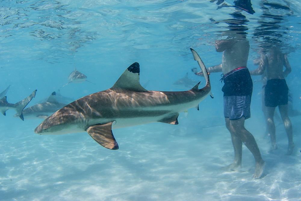 Blacktip reef sharks, Carcharhinus melanopterus, cruising near tourists at Stingray City, Moorea, French Polynesia. - 1112-4000