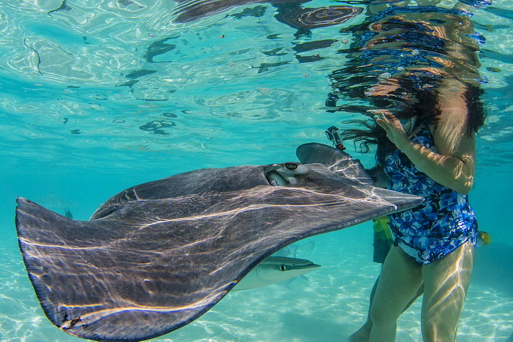 Giant stingray, Dasyatis spp, cruising with tourists in the shallow waters of Stingray City, French Polynesia. - 1112-4002