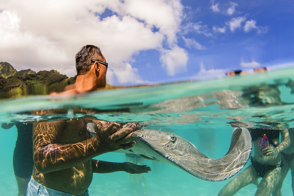 Giant stingray, Dasyatis spp, being fed by local guide in the shallow waters of Stingray City, French Polynesia. - 1112-4003