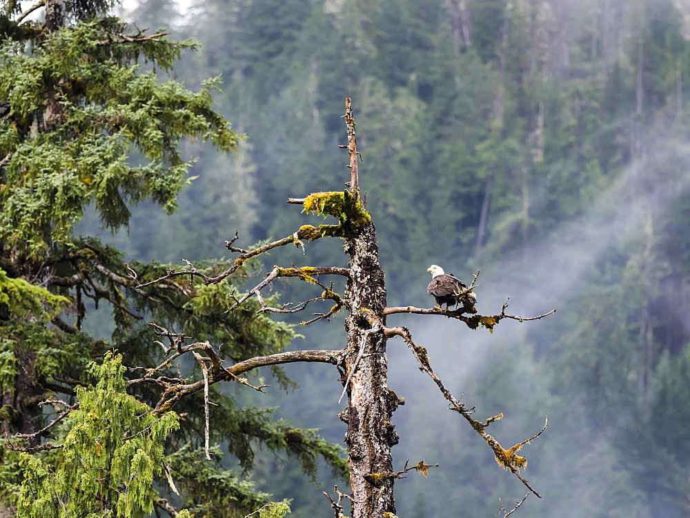 Adult bald eagle, Haliaeetus leucocephalus, Misty Fjords National Monument, Southeast Alaska, USA.