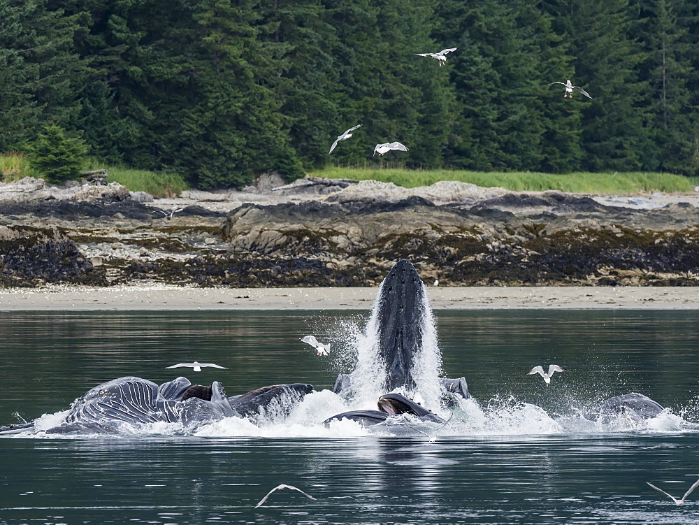 Humpback whales, Megaptera novaeangliae, cooperatively bubble-net feeding in Chatham Strait, Alaska, USA.