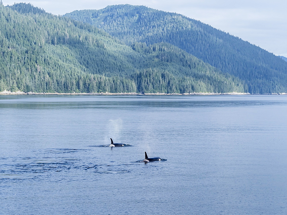 Resident killer whale pod, Orcinus orca, surfacing in Chatham Strait, Southeast Alaska, USA.